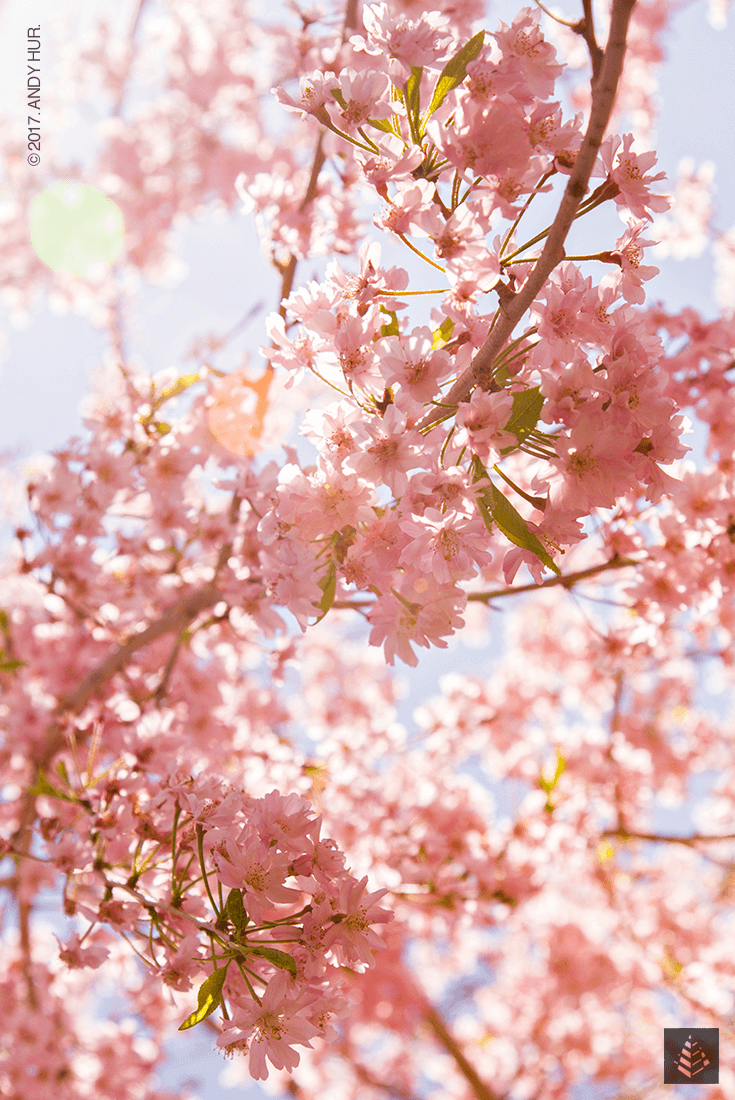 portfolio-nature_andy-hur_the-whelming_cherry-blossom_04_tp